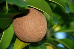It's been a while since Flavors of Brazil has posted an article in our long-running but sporadic series on the fruits of Brazil. Fruit Tree Garden, Fruit Plants, Fruit Trees, Trees To Plant, Cherry Fruit, Apple Fruit, Red Apple, Fresh Fruit, Brazilian Fruit