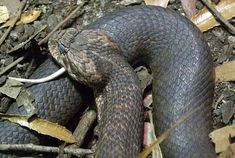 The Death Adder --Australia & New Guinea.  An untreated Death Adder bite is one of the most dangerous in the world. The venom, a neurotoxin, causes paralysis and can cause death within 6 hours from respiratory failure. Antivenin is very successful in treating a bite from a Death Adder, thanks to a slow progression of symptoms, but before its development, a Death Adder bite had a fatality rate of 50%. The quickest strike & return in the world.