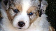 Blue Merle Mini Aussie puppy Mini Aussie Puppy, Toy Aussie, Aussie Puppies, Dogs And Puppies, Blue Merle, Australian Shepherd, Puppy Love, Corgi, Animals