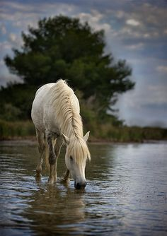 Cool water, white beauty, shade of grey, horse, hest, animal, water, reflections, clouds, tree, beautiful, gorgeous, photo