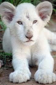 Картинки по запросу White Lion #BigCatFamily