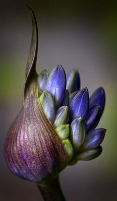 agapanthus bud | Nigel Burkitt One of my favorite flowers! Love the color