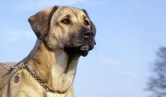 The Anatolian Shepherd is alert and intelligent, calm and observant. Instinctively protective, he is courageous and highly adaptable. He is very loyal and responsive. Highly territorial, he is a natural guard. Reserve around strangers and off its territory is acceptable. Kangal Dog, Huge Dogs, Anatolian Shepherd, Aggressive Dog, Large Dog Breeds, Best Dogs, Dogs And Puppies, Doggies, Dog Lovers