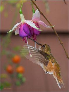 BEAUTY BIRDS: Pictures of Hummingbirds