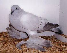 """The Ice pigeon, a """"fancy"""" named for its ice blue color. 