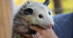 A possum was allegedly picked up and abused at a college party. Disturbing photos reportedly showed several young men picking the possum up, dousing the possum in beer, and putting the possum into a trashcan. Demand justice for this poor possum. Baby Animal Names, Cute Baby Animals, Zoo Animals, Snapchat Video, Opossum, Types Of Animals, Animal Welfare, Dogs Of The World, Animal Rights