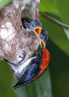 Photograph Scarlet-back Flowerpecker feeding Chicks by Allan Seah on 500px