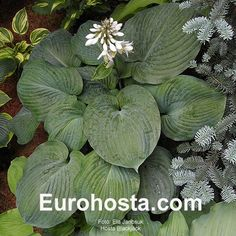 Hosta Blackjack - Eurohosta