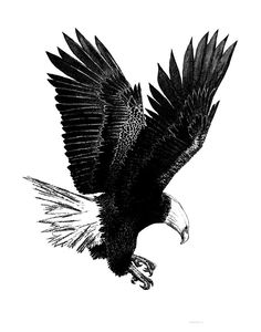 Bald Eagle Sketches | And White With Pen And Ink Drawing Of American Bald Eagle Drawing ...
