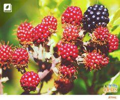 É fã de amoras? Essas frutinhas podem ser vermelhas, brancas e negras. Você sabia que após o plantio da árvore leva um ano e meio para dar frutas?