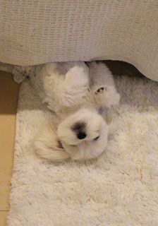 Maltese blending in with the rug