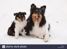 rough-collie-bitch-with-puppy-8-weeks-tricolourcollie-huendin-mit-EDPBF5.jpg (1300×956)