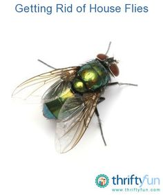 This is a guide about getting rid of house flies. House flies are a nuisance and unsanitary. Getting rid of house flies is easy if you use the proper methods.