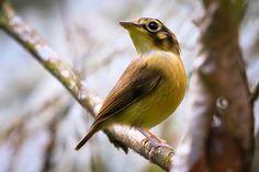 Foto patinho (Platyrinchus mystaceus) por Ernani Oliveira | Wiki Aves - A Enciclopédia das Aves do Brasil