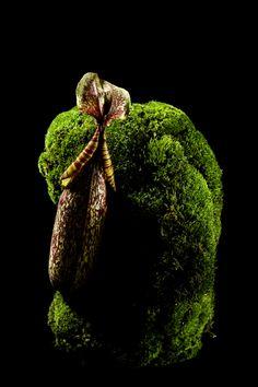 Moss& Nepenthes by Makoto Azuma, Japan