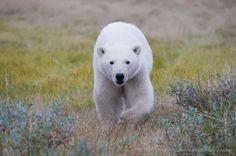 Wooow Polar Bears International, Spirit Animal, Panda, Animals, Google, Nature, Gifts, Everything, Bears