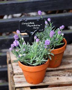Mini lavendler #lavender#purple#flowers#gartneriet3kanten#lavende#fleurs#blumen#flores#nordic#garden#jardin#tuin#instaflowers#flowerstagram#hage#blomster#mini#trädgård