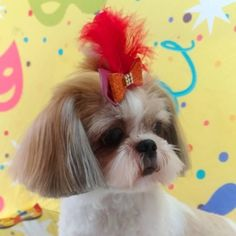 Pet Shop, Shih Tzu, Love Dogs, Blog, Dog Fashion, Groomsmen, Animales, The World, Cats