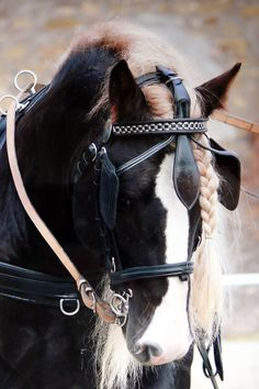 A Black Forest Horse - power & gentleness is combined to make some of the most beautiful animals on the planet - the horse