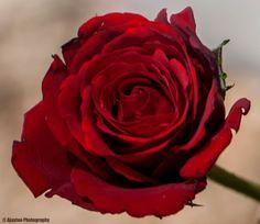 Red Rose - Ajaytao