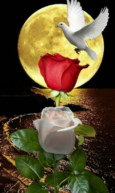 Morning Rose, Good Morning Flowers, Flower Phone Wallpaper, Rose Wallpaper, Beautiful Moon, Beautiful Roses, Dove Pictures, Love You Images, Look At The Moon