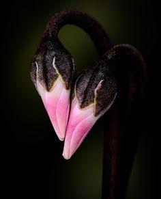 Cyclamen buds | http://500px.com/photo/49100662