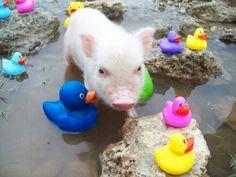 Duckies and a Pig Mini Piglets, Cute Piglets, Pet Pigs, Baby Pigs, Animals And Pets, Baby Animals, Cute Animals, This Little Piggy, Little Pigs