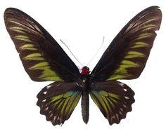 TROGONOPTERA BROOKIANA (?)TROGON - female (wingspan: 131 mm) (loc.: Mt. Dempo, Sumatra)