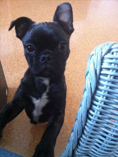 My little Bugg (Boston Terrier pug mix) Charles! I love how one ear