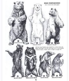 Bear size comparison