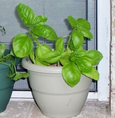 Basil-Know Your Herbs and Spices