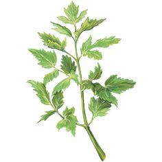 Libečkové maggi — Recepty — Herbář — Česká televize Korn, Herbs, Plants, Garden, Garten, Planters, Gardening, Outdoor, Home Landscaping
