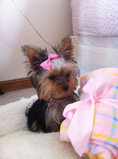 Usually not really a fan of small dogs- but she is the cutest thing that I've ever seen!<3 #yorkshireterrier