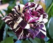 black dragon rose flower