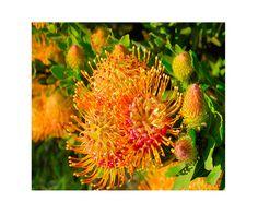 13 Protea - Pincushion Leucospermum b