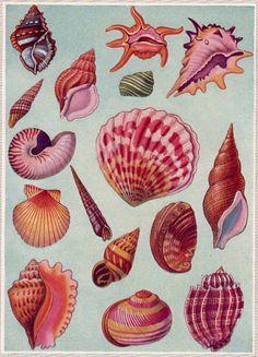 SHELLS vintage book plate - shell decor, ocean, beach, seaside, beach decor - ready to frame. via Etsy. Illustration Art, Illustrations, Shell Art, Shell Crafts, Botanical Prints, Vintage Prints, Sea Shells, Tropical, Painting