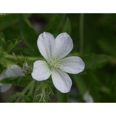 Wald-Storchschnabel / Geranium Sylvaticum| Hauenstein's Pflanzenshop