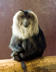 Lion-tailed_Macaque_in_Bristol_Zoo.jpg (2008×2560)