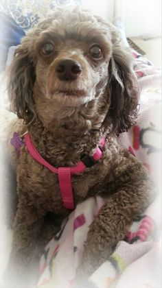 Thank you Karla for sharing with The Poodle Patch Community...