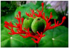 4,17 € Graines de Plante Corail (Jatropha podagrica) 3 Graines par sachet. Le Baobab Nain est un arbuste à caudex de la famille des Euphorbiacées, originaire de l'Inde et d'Amérique Centrale, atteignant 50cm de hauteur.Tronc renflé (caudex) à la base, fleur très particulière rouge vif ressemblant à du corail. Beau feuillage à 3 lobes. A conserver l'hiver en Véranda ou serre tempérée