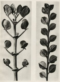 Find the latest shows, biography, and artworks for sale by Karl Blossfeldt. A teacher at the Royal Arts Museum in Berlin, Karl Blossfeldt became a celebrated… Karl Blossfeldt, Natural Form Art, Royal Art, Tattoo Project, Botanical Illustration, Nature Illustration, Fungi, Art Forms, Nature Photography