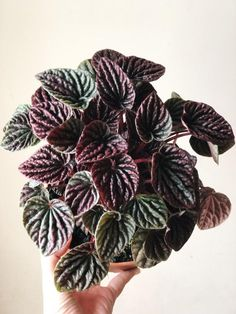 Excellent Gardening Ideas On Your Utilized Espresso Grounds Peperomia Caperata Red 'Ruby Ripple Peperomia' House Plants Decor, Plant Decor, Peperomia Plant, Indoor Grow Lights, Plants For Sale Online, Red Plants, Different Plants, Plant Needs, Houseplants