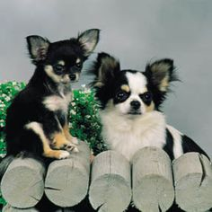 seriously.. by the time I am able to get a puppy I will have become a crazy chihuahua lady! lol