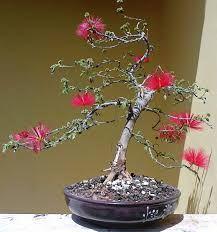Resultado de imagem para bonsai de caliandra vermelha
