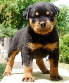 Adorable, baby Rottweiler...