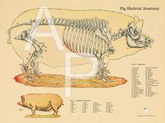 Pig Skeletal Anatomy Poster - 18\