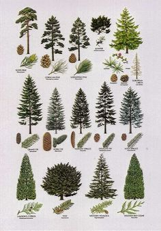 Definitely want to line part of the backyard with evergreen cypress trees -- bec. - Definitely want to line part of the backyard with evergreen cypress trees — because their conical - Conifer Trees, Trees And Shrubs, Trees To Plant, Larch Tree, Deciduous Trees, Types Of Pine Trees, Types Of Christmas Trees, Christmas Decor, Illustration Botanique