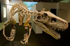 Herrerasaurus ('Herrera's lizard', after the name of the rancher who found the 1st fossil of the animal) was one of the earliest dinosaurs. All known specimens of this carnivore have been discovered in rocks of late Ladinian age (Mid Triassic according to the ICS, 231.4 Ma) in NW Argentina