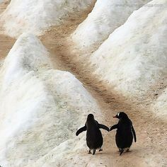 "Two Penguins in Antarctica: ""Paula, I know the journey ahead of us is a long and arduous one...  But take my flipper and with my support; we'll make it TOGETHER."""