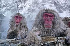 Hot snow monkeys by Istvan | Earth Shots